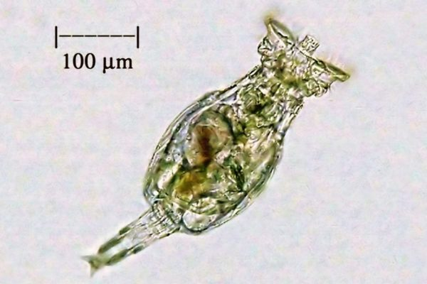 Rotifers for Sale - Live Aquarium Animals - Live Brine Shrimp