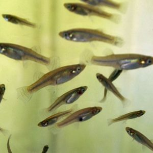 Mosquito Fish - Aquarium Supplies & Live Animals - Live Brine Shrimp