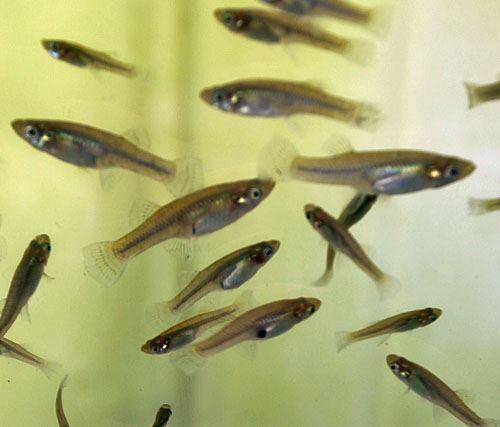 Mosquito Fish - Aquarium Supplies & Live Animals - Live Brine Shrimp