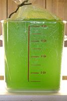 Live Algae for Sale - Nannochloropsis - Live Brine Shrimp
