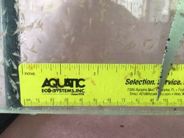 Live Brine Shrimp for Sale - Artemia & Aquarium Supplies - Live Brine Shrimp