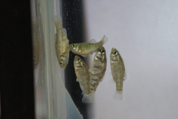 Feeder Fish for Sale - Live Fish & Aquarium Supplies - Live Brine Shrimp