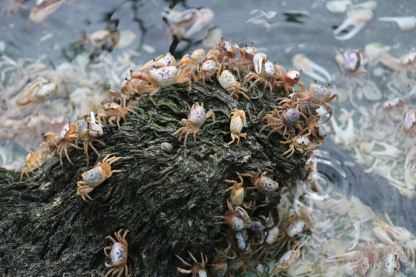 Fiddler Crabs for Sale - Live Fiddler Crabs - Live Brine Shrimp