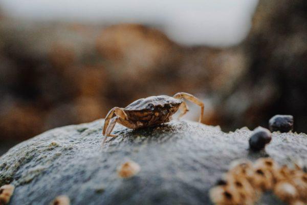Fiddler Crabs for Sale - Live Fiddler Crabs - Live Brine Shrimp