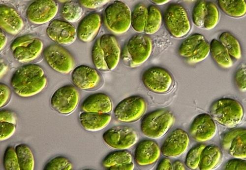 Tetraselmis Algae